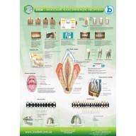 Плакат Зубы-АНАТОМИЯ-Классификация-БОЛЕЗНИ